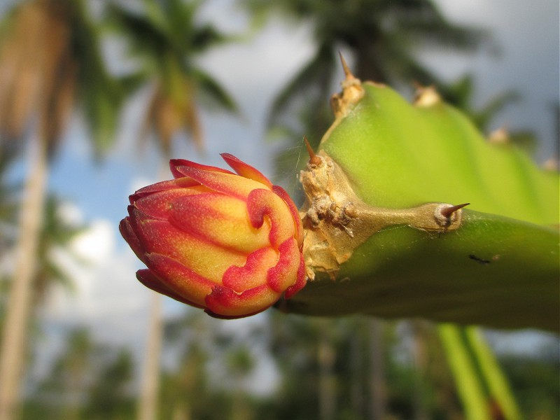 how to grow dragon fruit in the philippines